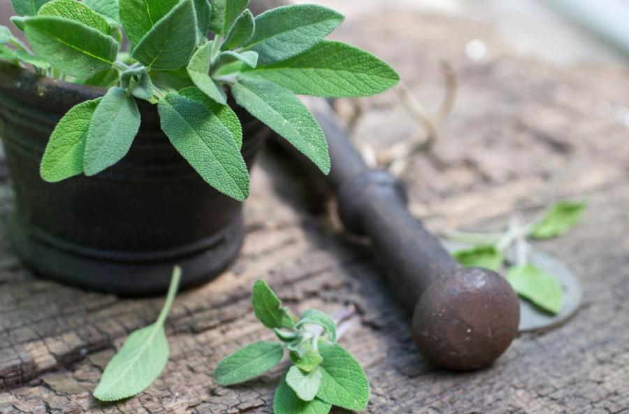 Salvia: non solo foglie, ma olio, integratori e tisane