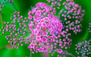Spirea Ulmaria, l'aspirina vegetale