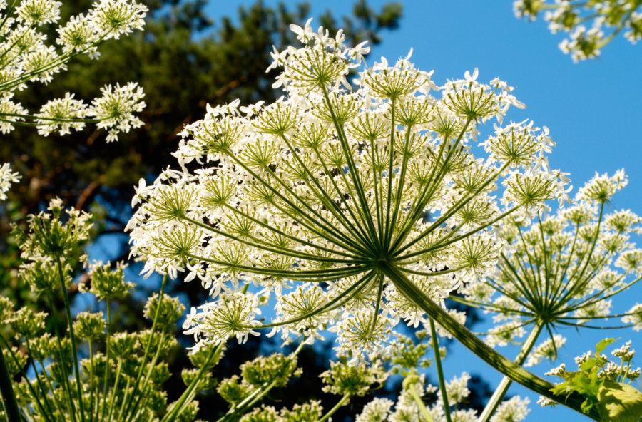 Infuso di fiori di angelica contro il mal di testa