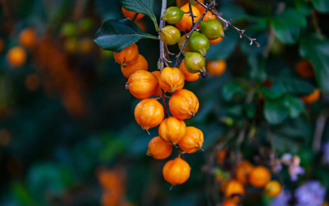 olivello detox