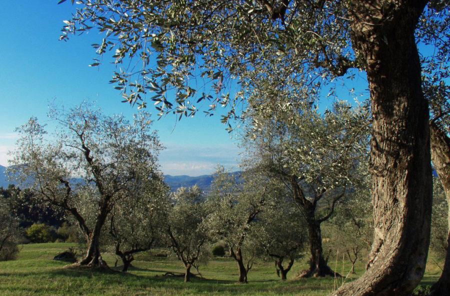 Olio extravergine d'oliva, bassa acidità = alta qualità