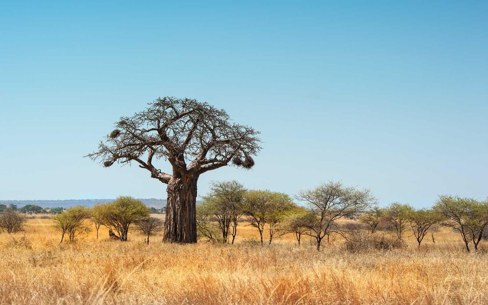 Baobab, scopri i benefici dell'albero della vita